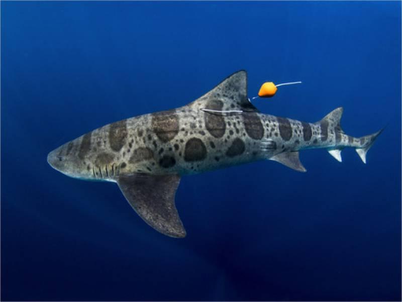 Tiburón leopardo (Triakis semifasciata) seguido durante el estudio. / Kyle McBurnie
