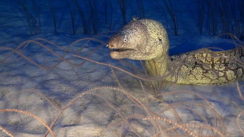 Morena mediterránea (Muraena helena) en coral negro (Stichopathes sp.) en las montañas submarinas del norte de las Islas Canarias./ Oceana.