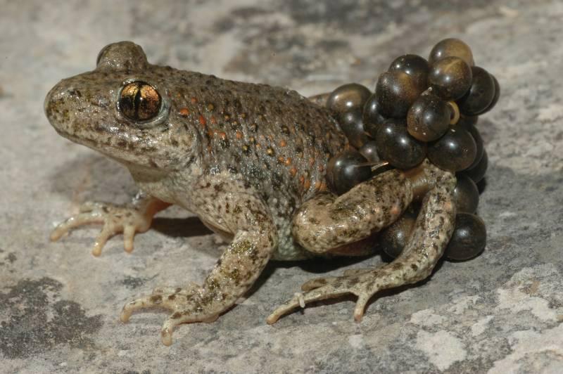 Se acerca el fin de la enfermedad fúngica de los anfibios