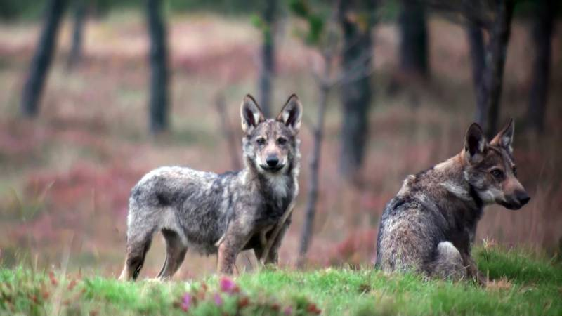 Dos lobos ibéricos en el norte de España. / Francisco Javier Lema