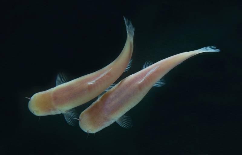 Un pez ciego cavernario con un extraño reloj