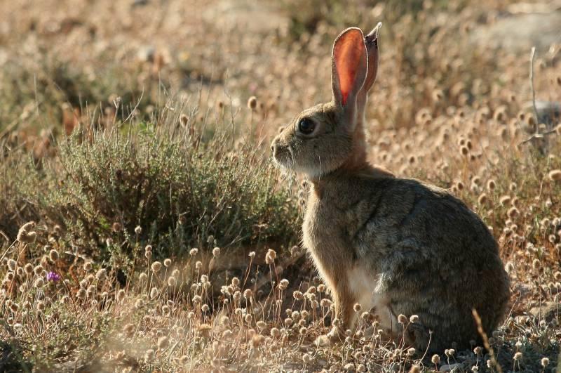 El descenso de las abundancias de conejo ha venido acompañado por una disminución notable del número de cachorros de lince ibérico nacidos en el campo entre 2012 (78 cachorros) y 2013 (54), según datos de la Junta de Andalucía y el Proyecto Life-Lince. / Miguel Delibes-Mateos.