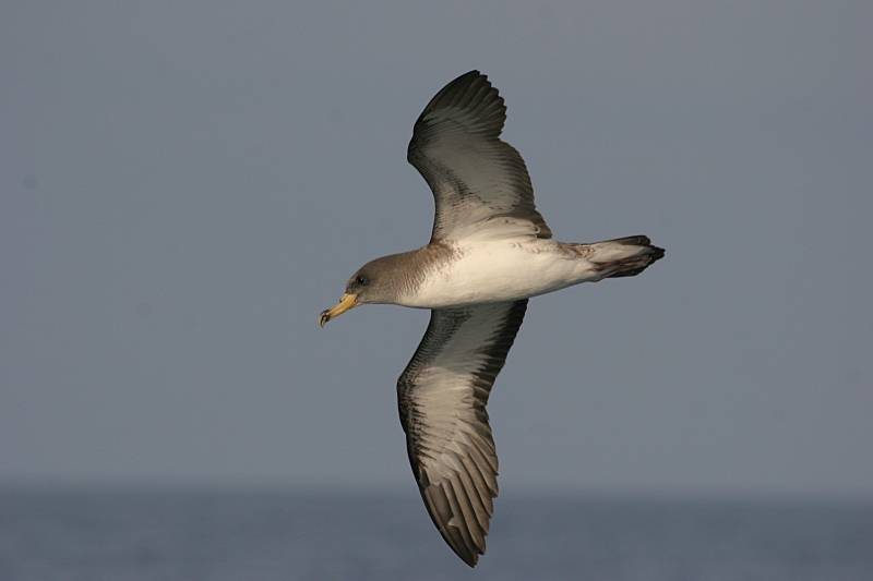 Las pardelas son una de las aves marinas más amenazadas por los efectos de la presencia humana (Foto: Pep Arcos/SEO BirdLife).