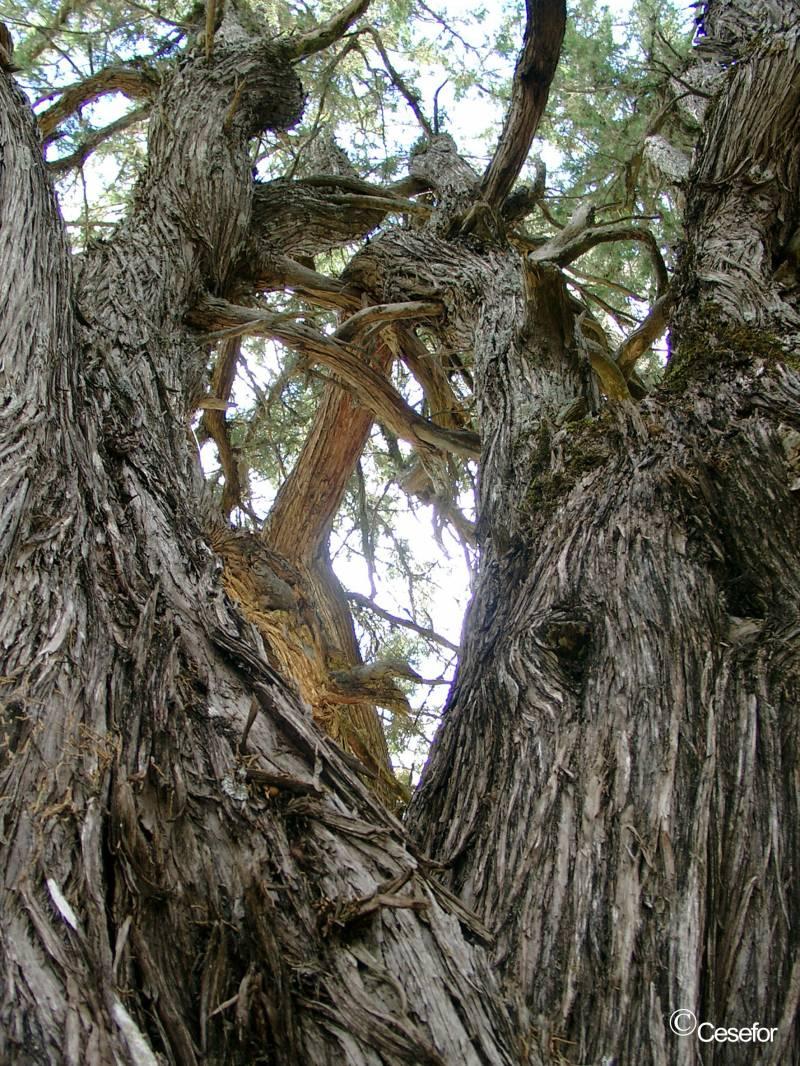 Comparan el crecimiento de árboles de Soria y Los Monegros para predecir efectos del cambio climático