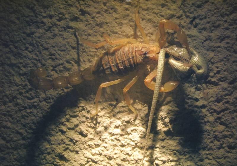 En las Islas Columbretes los escorpiones se comen a las lagartijas y las lagartijas, a los escorpiones.