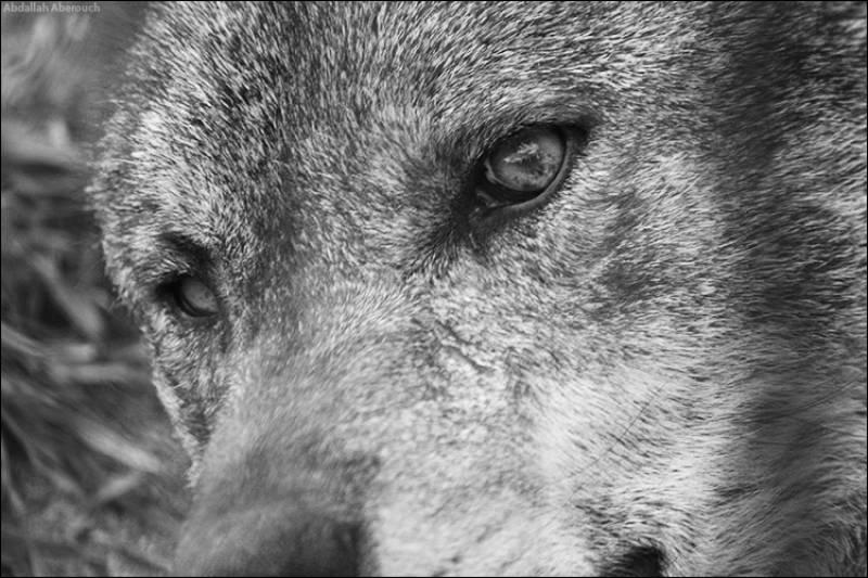 El lobo: sentido y sensibilidad