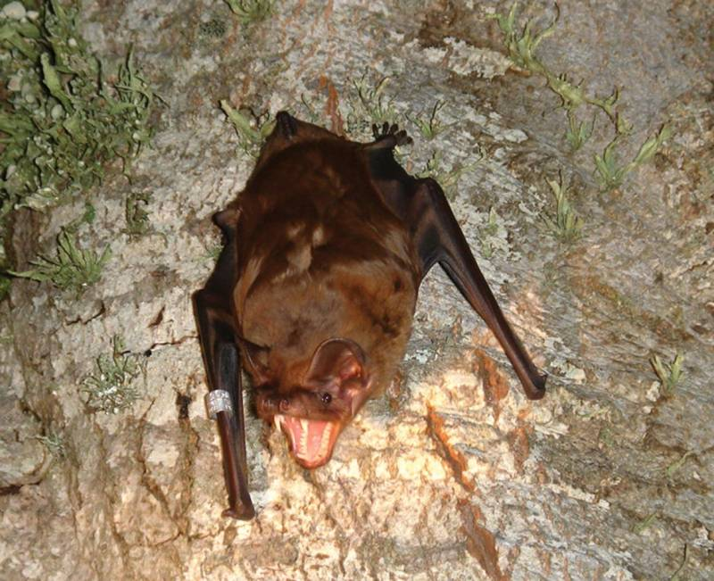 Murciélago Nyctalus lasiopterus en la actualidad.