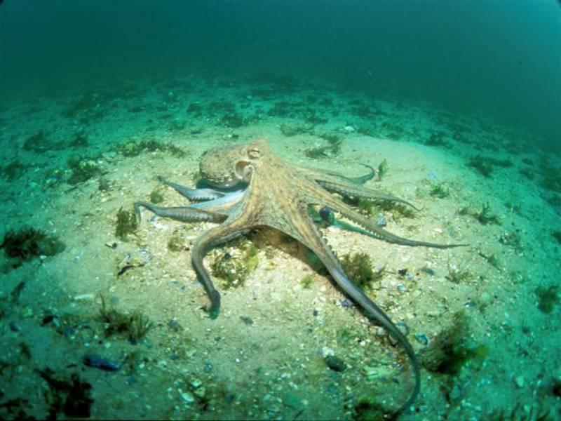 Imagen de un pulpo común tomada en aguas de Galicia