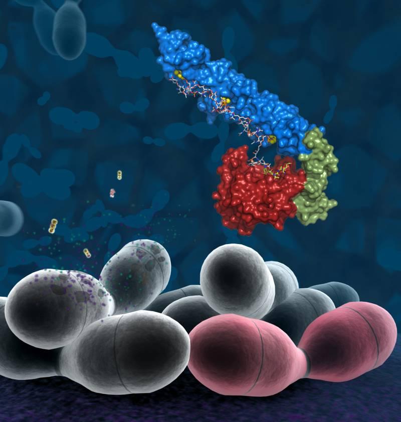 La lucha fraticida entre neumococos facilita la infección e incrementa la inflamación