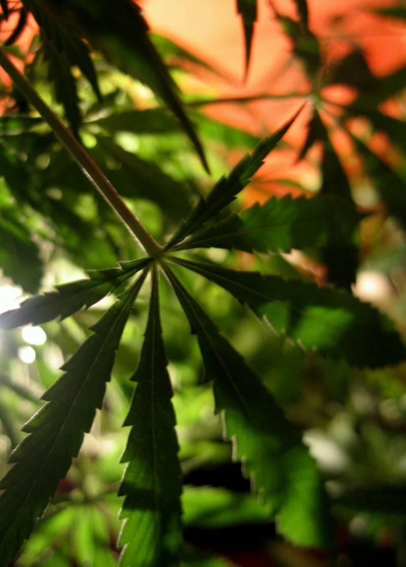 La marihuana no es eficaz para tratar el Alzheimer