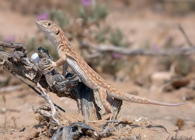 Las lagartijas cambian su dieta para evitar a los predadores