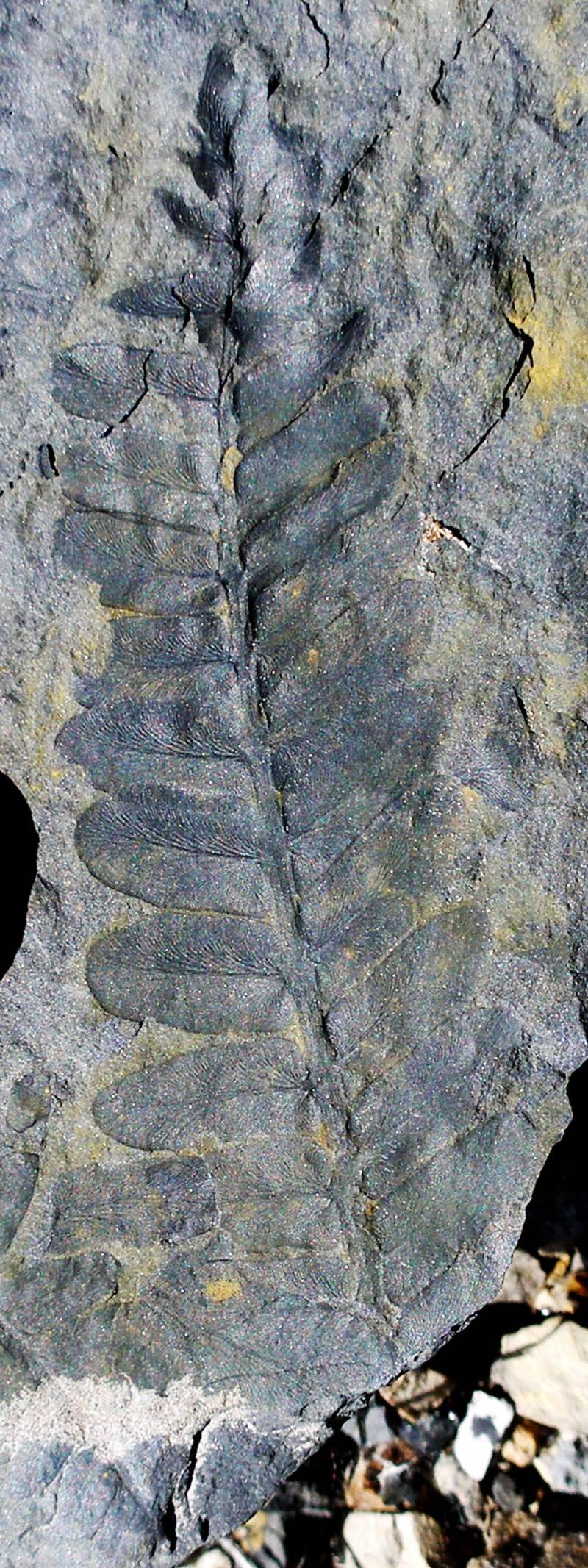 Los bosques fósiles de Valdesamario e Igueña (León)