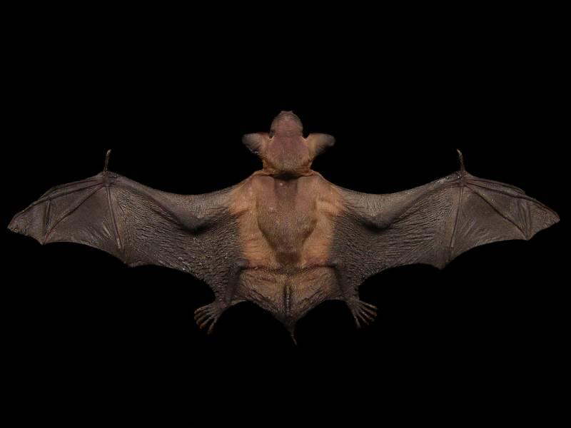 Los murciélagos también migran