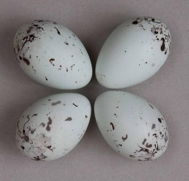 Huevos de calandria café (Icterus spurius).