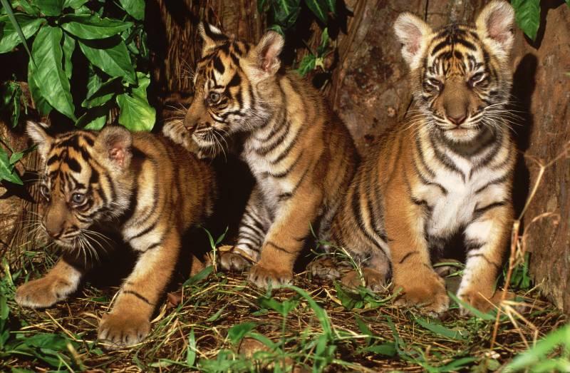 Revelan las primeras imágenes de una tigresa de Sumatra y sus cachorros
