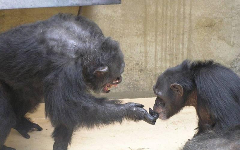 Un estudio de los gestos de los chimpancés da pistas sobre el origen del lenguaje humano