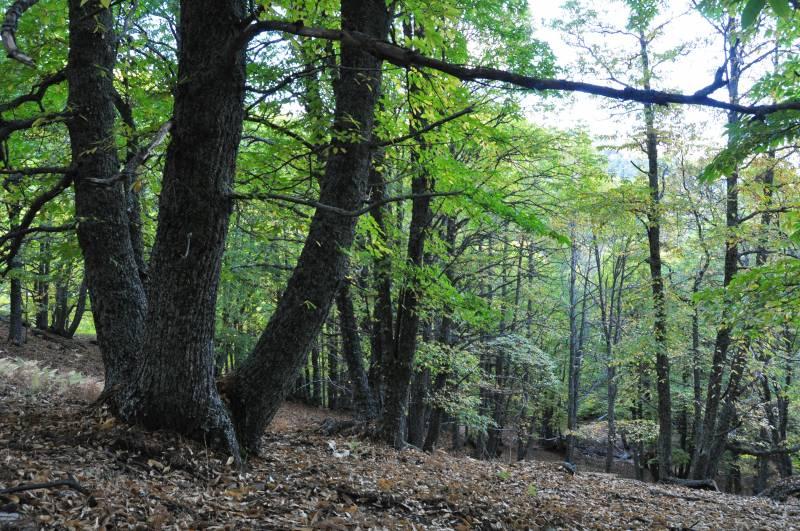 Bosque de castaños en El Tiemblo (Ávila). Imagen: Enrique Sacristán