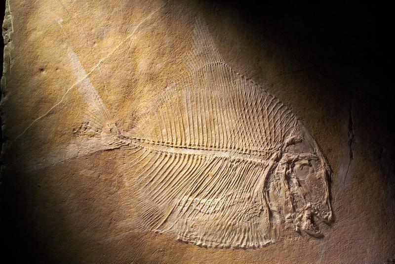Fósil de pez Picnodontiforme