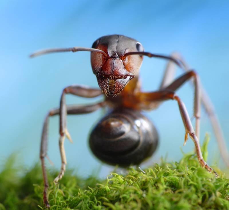 Hormiga roja europea. / Antrey-Fotolia.com