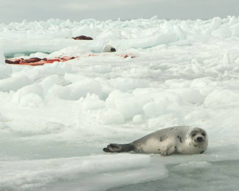 Matanza de focas de 2009 en Canadá