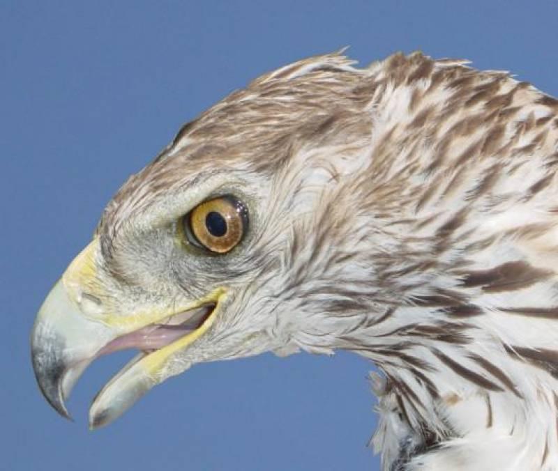 La muerte por electrocución es la primera causa de mortalidad del águila perdicera (Aquila fasciata)