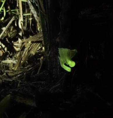 Hongo bioluminiscente