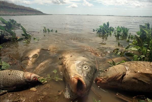 Miles de peces aparecieron muertos en las orillas del Guadalquivir, víctimas del vertido tóxico de las minas de Aznalcóllar / EFE