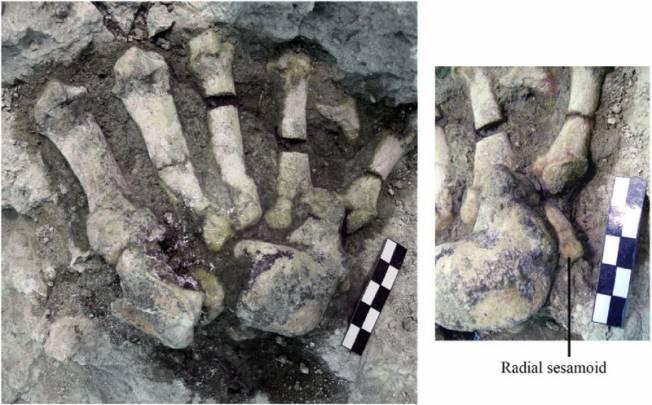Restos fósiles de una pata delantera de la especie Indarctos arctoides en el yacimiento del Cerro de los Batallones 3 (Madrid). / Marta Pina