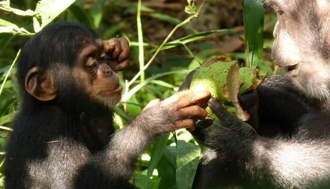 a cultura son comportamientos que los chimpancés aprenden de generación en generación