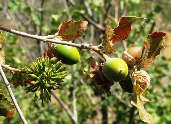 Agalla de Diastrophus rubi en los tallos de la zarzamora (Rubus spp.).