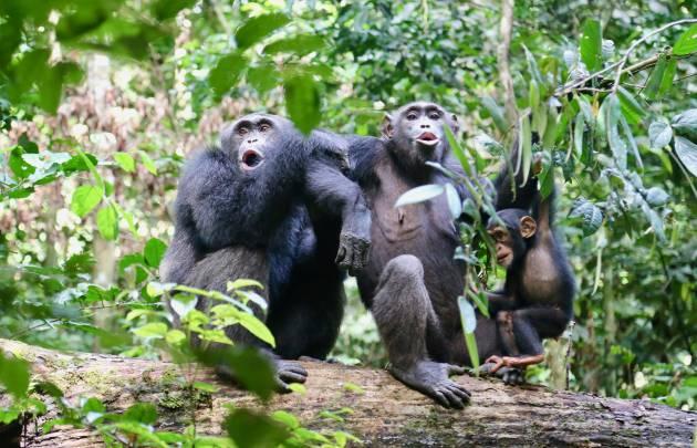 Chimpancés en el bosque Taï de Costa de Marfíl rompen nueces con un martillo de piedra