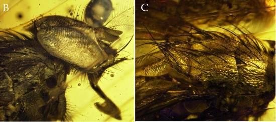Ejemplar de Mesembrinella caenozoica en ámbar / Cerretti et al. (2017)