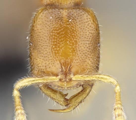 Otra de las nuevas especies denominada 'Prionopelta vampira' / Academia de Ciencias de California