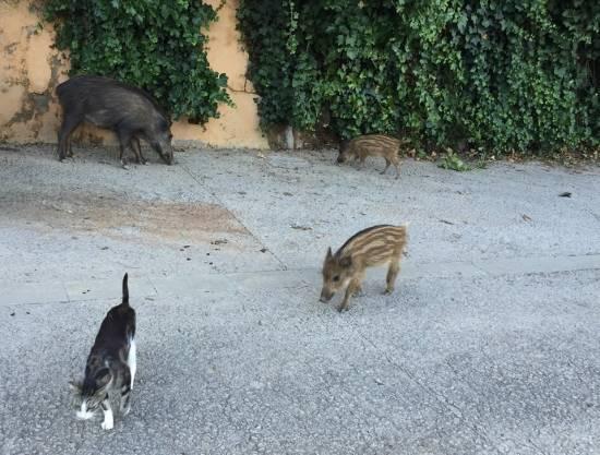Gatos y jabalíes en Barcelona / Eugenio Fernández Suárez