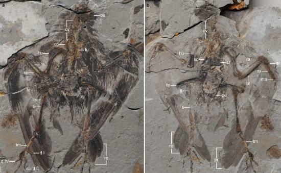 Holotipo de Archaeornithura meemannae. / Wang et al., Nature Communications