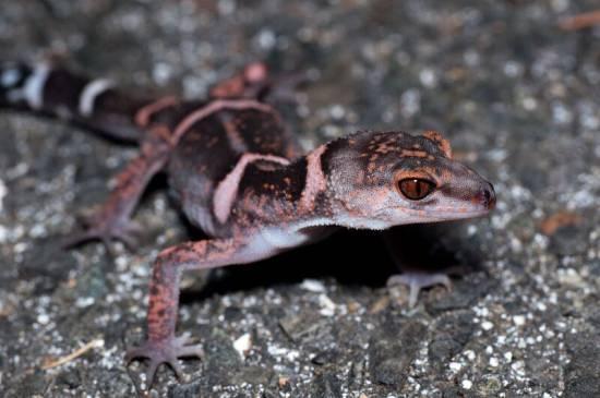 Goniurosaurus es un género de geckos pertenecientes a la familia Eublepharidae / ku Sugimoto
