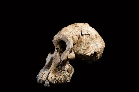 Vista lateral del cráneo / Museo de Historia Natural de Clevenland