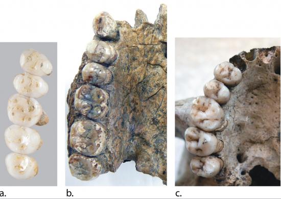 Dentadura de H. Luzonensis, H. Herectus y H. Sapiens / © Callao Cave Archaelogy Projet