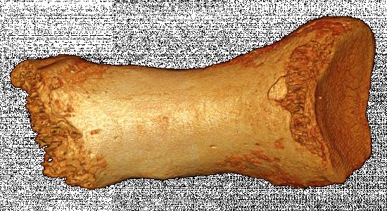 Vista dorsal del hueso del dedo Denisovan Neandertal / (C) Bence Viola