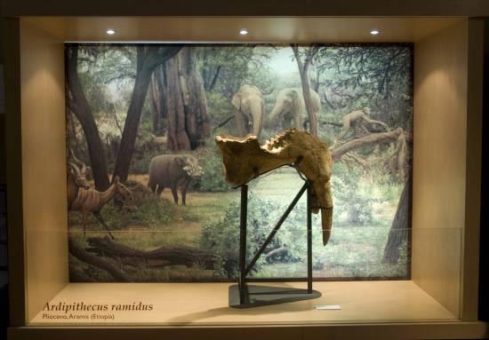 Fósil de mamut / MNCN