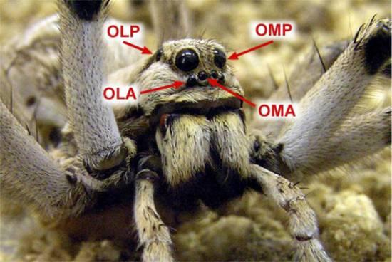 Disposición de los 4 pares de ojos en el cefalotórax de la araña Lycosa tarantula / Joaquín Ortega Escobar