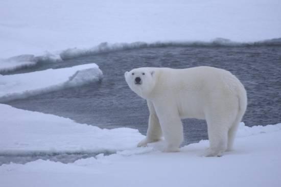 Un joven oso polar sobre el hielo de las aguas del Océano Ártico en octubre de 2009. / Shawn Harpero