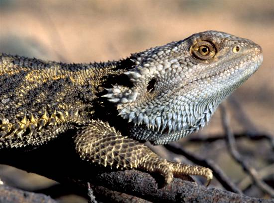 Dragón barbudo australiano ('Pogona vitticeps') / Arthur Georges
