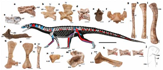 Anatomía esquelética de Teleocrater rhadinus / Sterling J.Nesbitt et al.