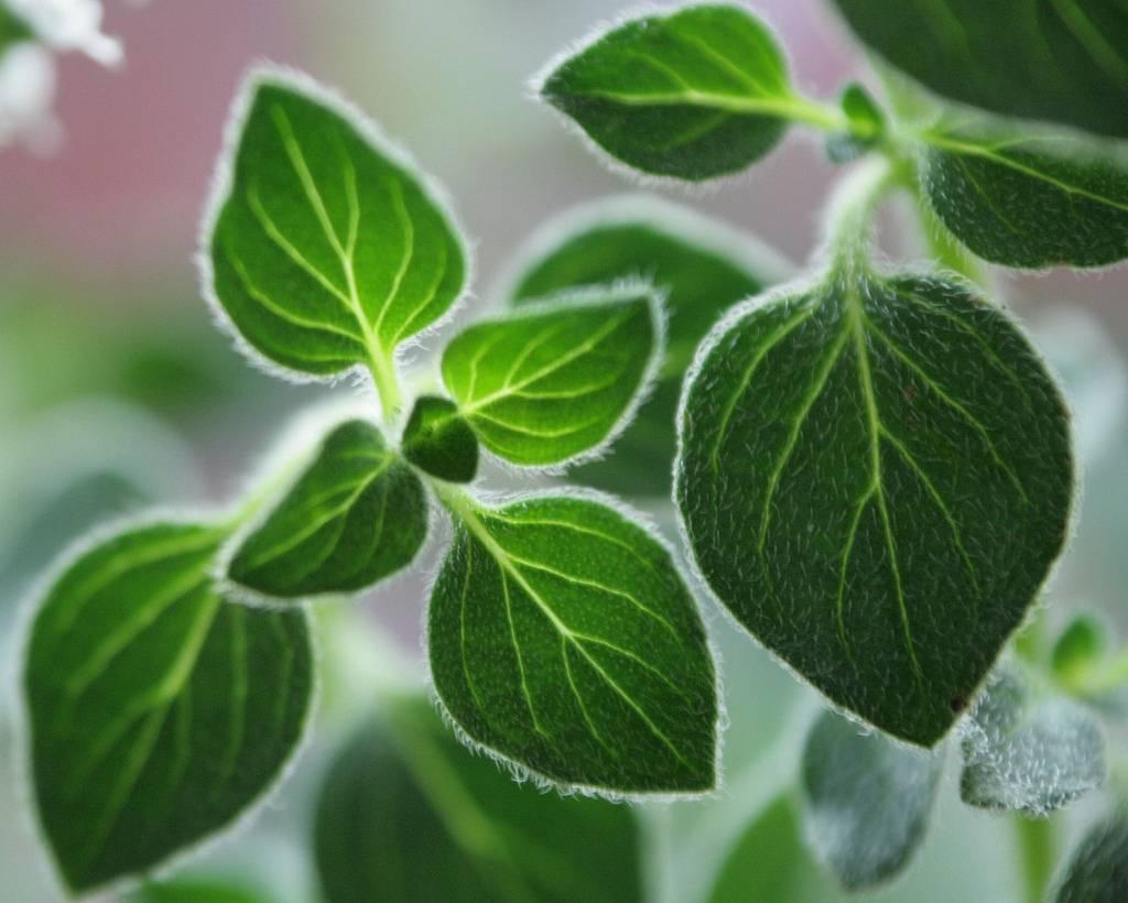 oregano planta medicine roborant nombre cientifico y maternity que sirve
