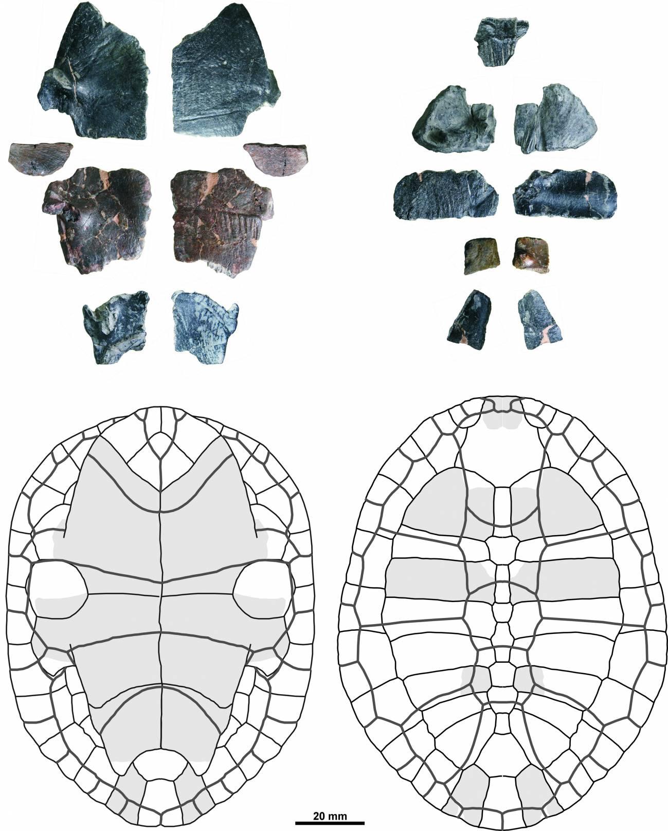Reconstrucción de los restos del caparazón encontrados / GBE UNED.