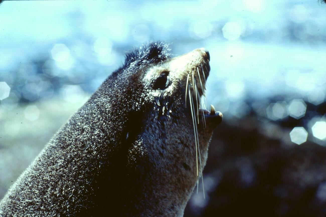 Lobo marino antártico. /Pierre Jouventin