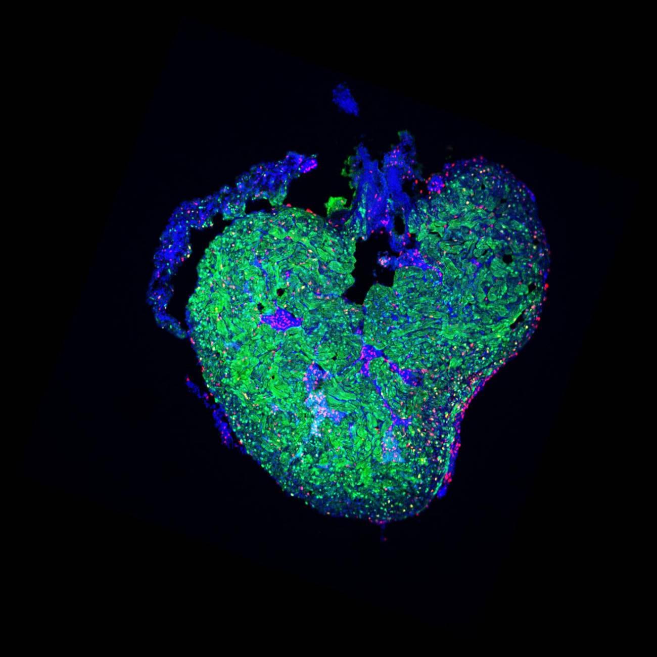 En la imagen, el corazón de un pez cebra 14 días después de sufrir la amputación.