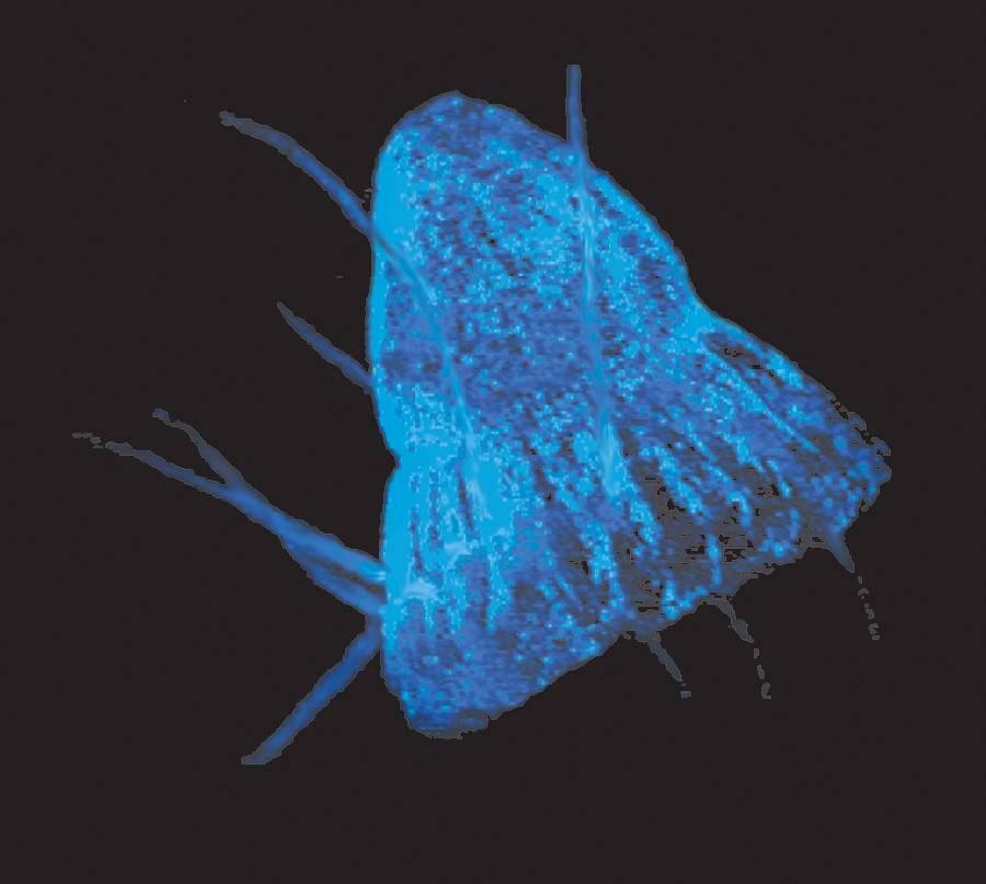 Medusa (Periphylla periphylla) fotografiada en su propia luminescencia