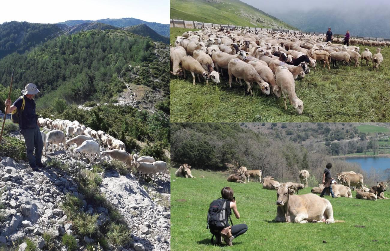 Rebaños formados por diferentes razas ganaderas autóctonas de la zona del Pallars (Cataluña). / Silvia Valenzuela Lamas y Ariadna Nieto Espinet